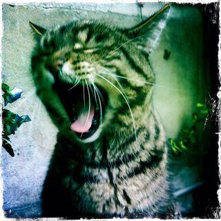 Cat-yawn